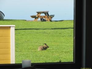 Harar och kaniner ser man